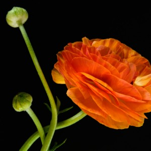 Ranunculus by Kristin Hoving